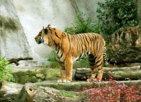 Sumatran Tiger by Track-Maidens