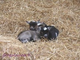 baby billy goats by frogslave69