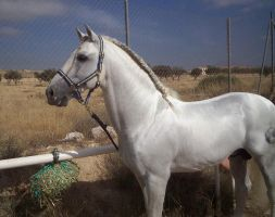 Andalusian Stallion14 - Stock by Bolero-L