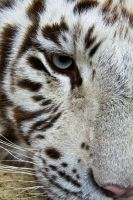 d749 - White Tiger by Jay-Co