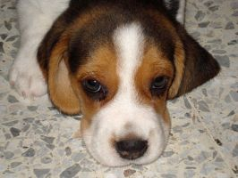 Puppy Beagle by noly013