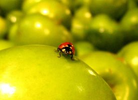 ladybug on an apple by elooly