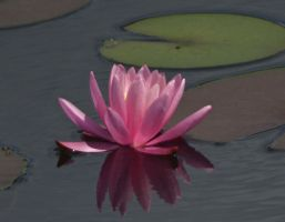 Pink Water Lily With Reflection by Matthew-Beziat