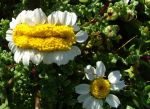 Monster Chamomile by floramelitensis