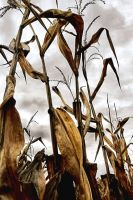 Corn Rows:  Stalks Against The Sky by basseca