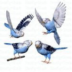 Blue Budgie Bird Stock Pack 1 by Shoofly-Stock