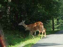 Deer Crossing by JennHolton