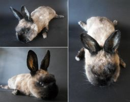 Siamese Sable Rabbit Softmount by DeerfishTaxidermy