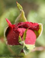 Rose Bud by concettasdesigns