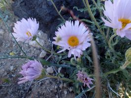 Mojave Aster by ClymberPaddler
