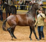 STOCK - 2014 Andalusian Nationals-96 by fillyrox