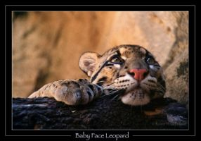 Baby Face Leopard by robbobert
