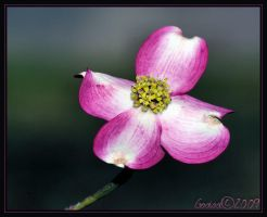 Dogwood Bloom . by Gooiool