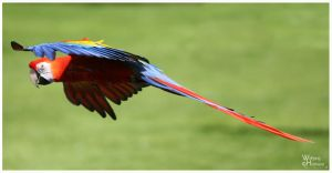 Flying Macaw by W0LLE