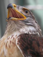 Ferruginous Hawk Portrait by Ciameth