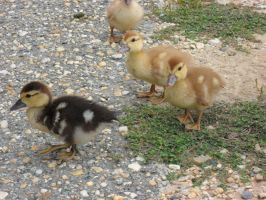 Ducklings by BornCrazy7189