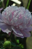 full peony bloom by xim0nfir3x