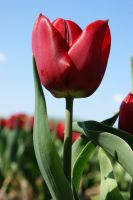 Tulip 8 by picture-melanie