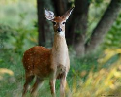 Birthday Fawn update 1 by natureguy