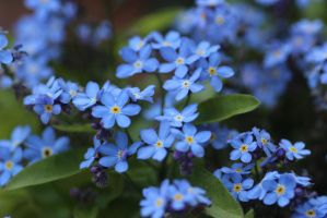 forget me not 6 by CaptainOswin