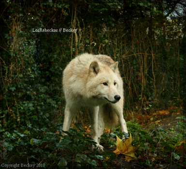 Canis Lupus by LosRebeckos