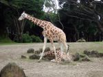 Giraffes at the zoo by Trisaw1