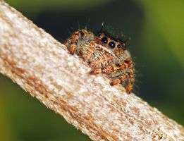 Phidippus on a Branch by Enkased