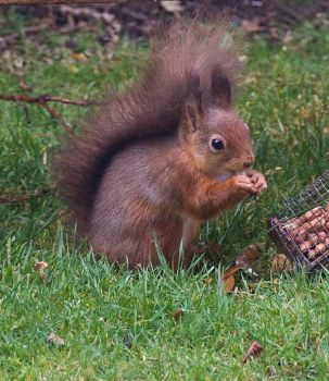 Red squirrel by sandyprints
