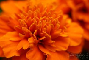 Orange Beauty by Estelle-Photographie