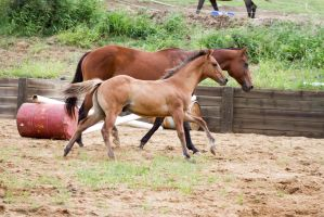 Km Buckskin Foal Cantering next to Mare by Chunga-Stock