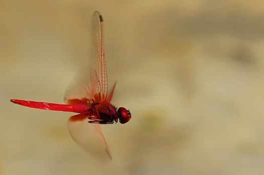 Dragonfly On Flight by josgoh