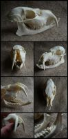Chinese Water Deer Skull by CabinetCuriosities