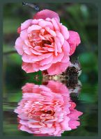 Rose Reflection by Lightfoot11