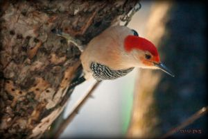 Red-Bellied Woodpecker s by caillteone