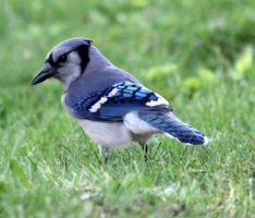 Blue Jay by Jisei