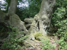 Beech Roots by JollyStock