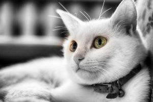 White Cat by photodeny