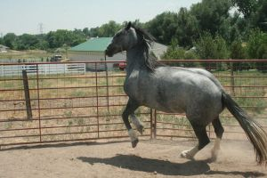 Blue Roan Stock 70 by tragedyseen