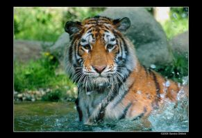 Siberian Tiger 2 by grugster