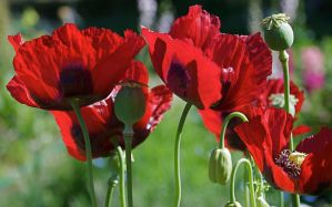 morning poppies 1 by fergusand