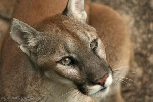 Florida Panther by RaylenesPhotography