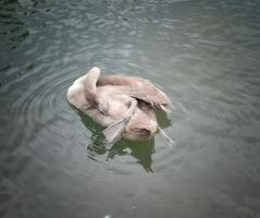 Baby swan (Signet) by jennystokes
