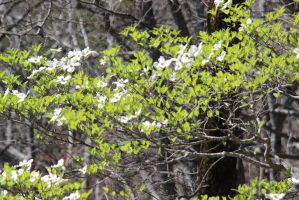 Flowering Dogwood by Kiroma