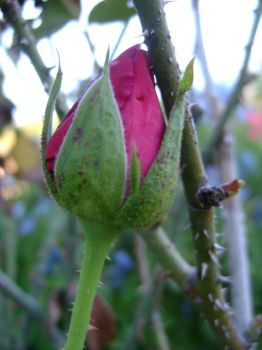 rose bud 9 by ShadowessofFlames