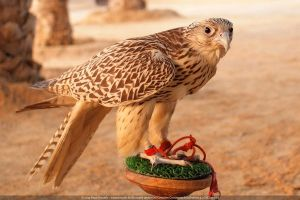 Falcon, Desert Camp in Abu Dhabi by IceHand84