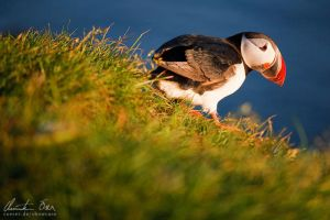 Puffin in Iceland 3 by Nightline