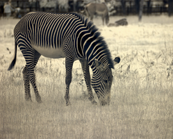 Zebra at Whipsnade by bmh1