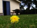 Dandelion2 by AnyLastRequests