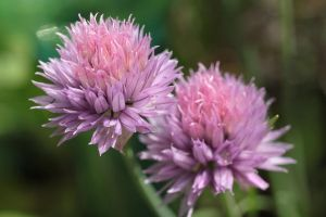 twins chives by marob0501