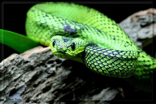 Great Lakes Bush Viper by BPFischer